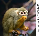 Squirrel Monkey Small Ape Of...