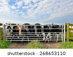 Cattle Of Cows