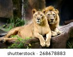 Two Lion In Forest And Face...