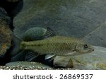 Small photo of Taiwan torrent carp: Acrossocheilus paradoxus