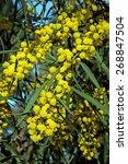 Small photo of Acacia longifolia - Long-leaved wattle