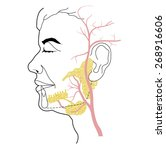 the salivary glands and the... | Shutterstock .eps vector #268916606
