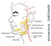 the salivary glands and the... | Shutterstock .eps vector #268916609