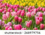 tulip. beautiful bouquet of... | Shutterstock . vector #268979756