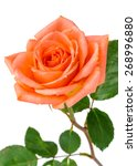 Rose In Peach Color Isolated O...