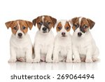 Stock photo group of jack russell terrier puppies in front of white background 269064494
