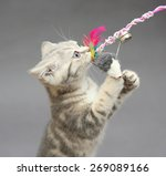 Stock photo little british kitten marble colors and toy on a gray background 269089166