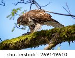 Wild Young Red Tailed Hawk...