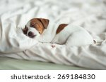 Puppy Sleeping On The Bed. Jac...