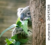 Australia Cute Baby Koala Bear...