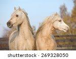 Two Beautiful Welsh Stallions...