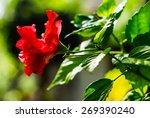 Red Hibiscus Flower  Hibiscus...