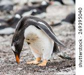gentoo penguin portrait in the...   Shutterstock . vector #269395040