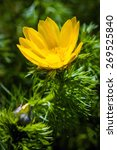 Small photo of Beautiful spring yellow flowers Pheasant's eye (Adonis vernalis)