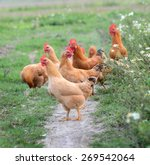 Chickens On Traditional Free...
