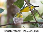 Small photo of Common Iora giving feed (Aegithina tiphia)