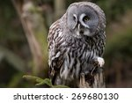 Grey Owl Portrait On The Fores...