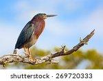 A Green Heron  Butorides...