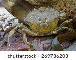 European Green Crab Amongst Re...
