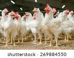 Modern Chicken Farm  Productio...