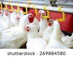 Modern Chicken Farm  Productio...