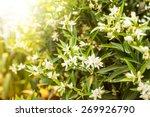 Flowers Of An Orange Tree Amon...