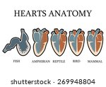 comparison of cardiac anatomy...