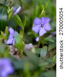 Small photo of Periwinkle Vinca blue spring flowers in the forest