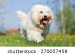 Coton De Tulear Dog Run In...