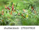 Thai Chilli Tree Agriculteral...