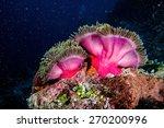 Clown Fish Family Inside A Pin...