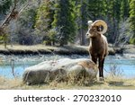 Bighorn Sheep Posing Near Rock...