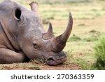 A Huge Rhino   Rhinoceros Rest...