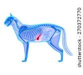 cat gallbladder   felis catus... | Shutterstock . vector #270372770