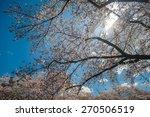 cherry blossoms in ueno park in ... | Shutterstock . vector #270506519