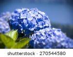 blue hydrangea macro horizontal ... | Shutterstock . vector #270544580