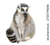 Portrait Of Adult Lemur Katta ...