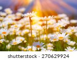 field of daisies and sunshine | Shutterstock . vector #270629924