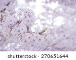 spring cherry blossoms  pink... | Shutterstock . vector #270651644