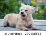 small puddle dog sleep on wood... | Shutterstock . vector #270665588