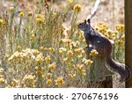 California Ground Squirrel...