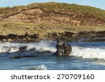 Southern Elephant Seals...