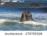 Southern Elephant Seals...