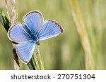 Cupido Minimus Butterfly...