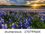 Texas Bluebonnet Field In...
