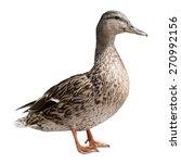 Mallard Duck Isolated On White