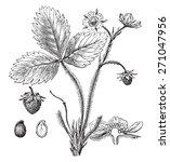 strawberry  vintage engraved... | Shutterstock .eps vector #271047956