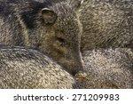 A Group Of Javalinas Flock Int...