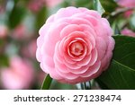 Double Flowered Camellia