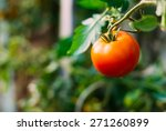 Homegrown Red Fresh Tomato In A ...